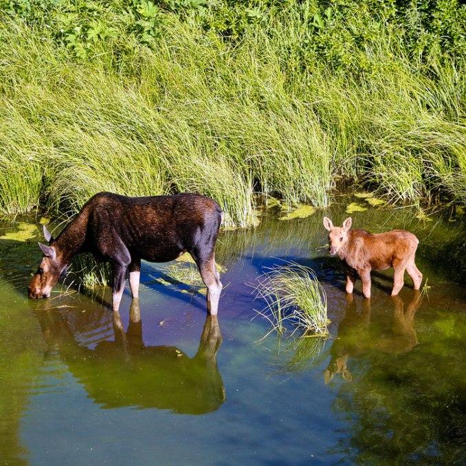 grand teton national park wildlife moose sq - 11 Incredible Things to Do in Grand Teton National Park
