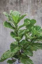 Fiddle Leaf, Ficus Iyrata Roger's Gardens $50-$700 www.rogersgardens.com
