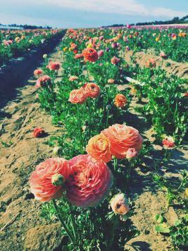 Flower Fields Carlsbad_1