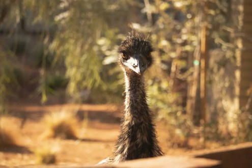 Living Desert_AA_TheLivingDesert_Emu