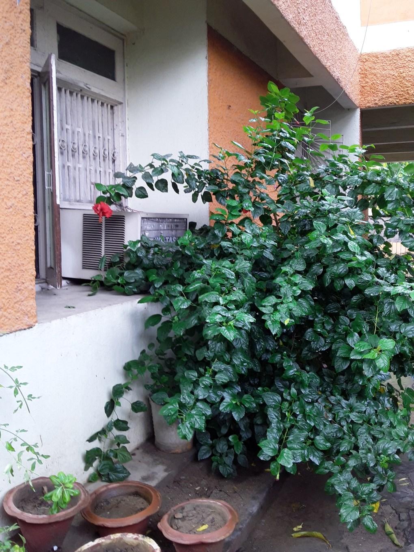 Patna Home hibiscus