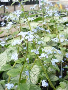 Brunnera jack frost perennial plant