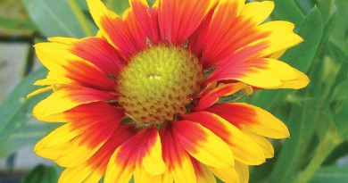 Galliarda is also referred to as blanket flower and brown-eyed Susan.