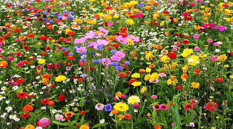 Wildflowers for your garden