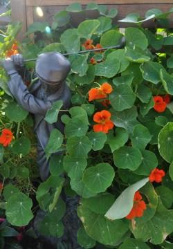 Nasturtiums hide a golfer.