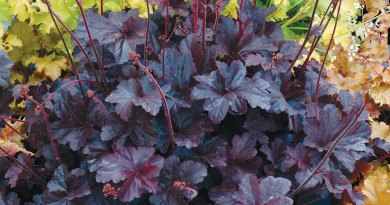 The happy heuchera