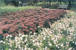 Sedum Autumn Joy surrounded by Nicotina.
