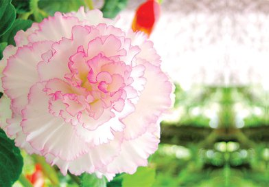 Beguiling Begonias and its other species