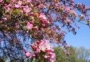 Flowering Trees of Canada