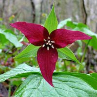 Red trilliums (Trillium erectum) are also known as Stinking Benjamins.