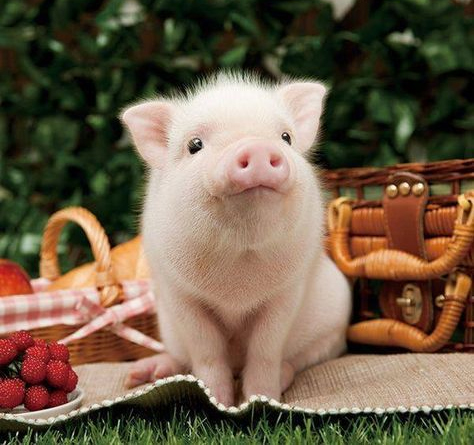there is no such thing as mini pigs