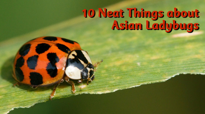 10 neat things about asian ladybugs