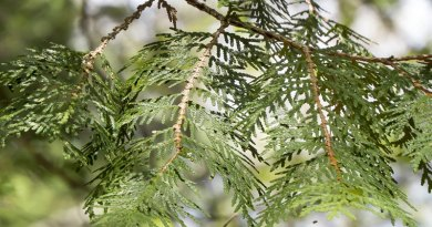 Cedar trees in Winter