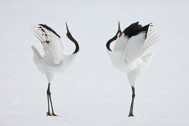 Where to find cranes in Japan?