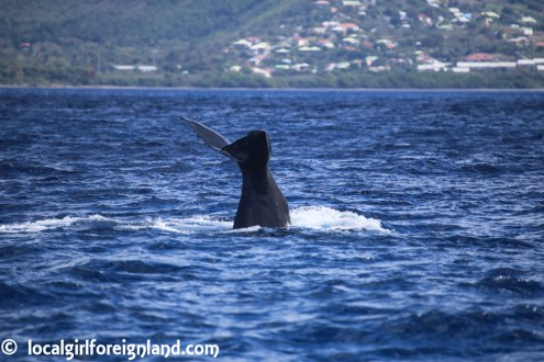 Les-Heures-Saines-Malendure-Guadeloupe-whale-watching-cruise-2438