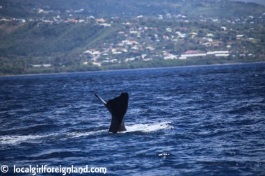 Les-Heures-Saines-Malendure-Guadeloupe-whale-watching-cruise-2439