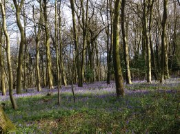 Meenfield Wood bluebells