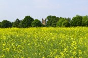 Church at Chiddingstone peeps through trees behind field of rape plants