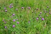 Field scabious, Downe
