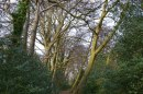 Beeches, Downe, mid-March