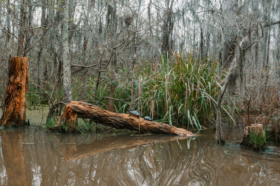 Turtles climbing a log in the swamp of New Orleans