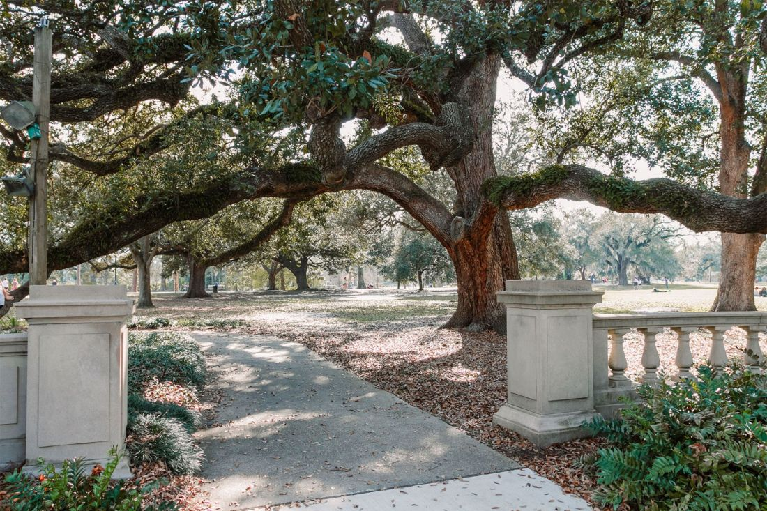 Large live oak tree covered in moss in park setting