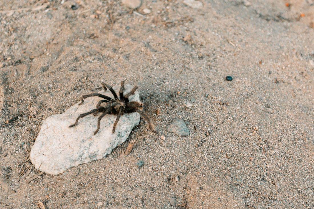A tarantula on a rock