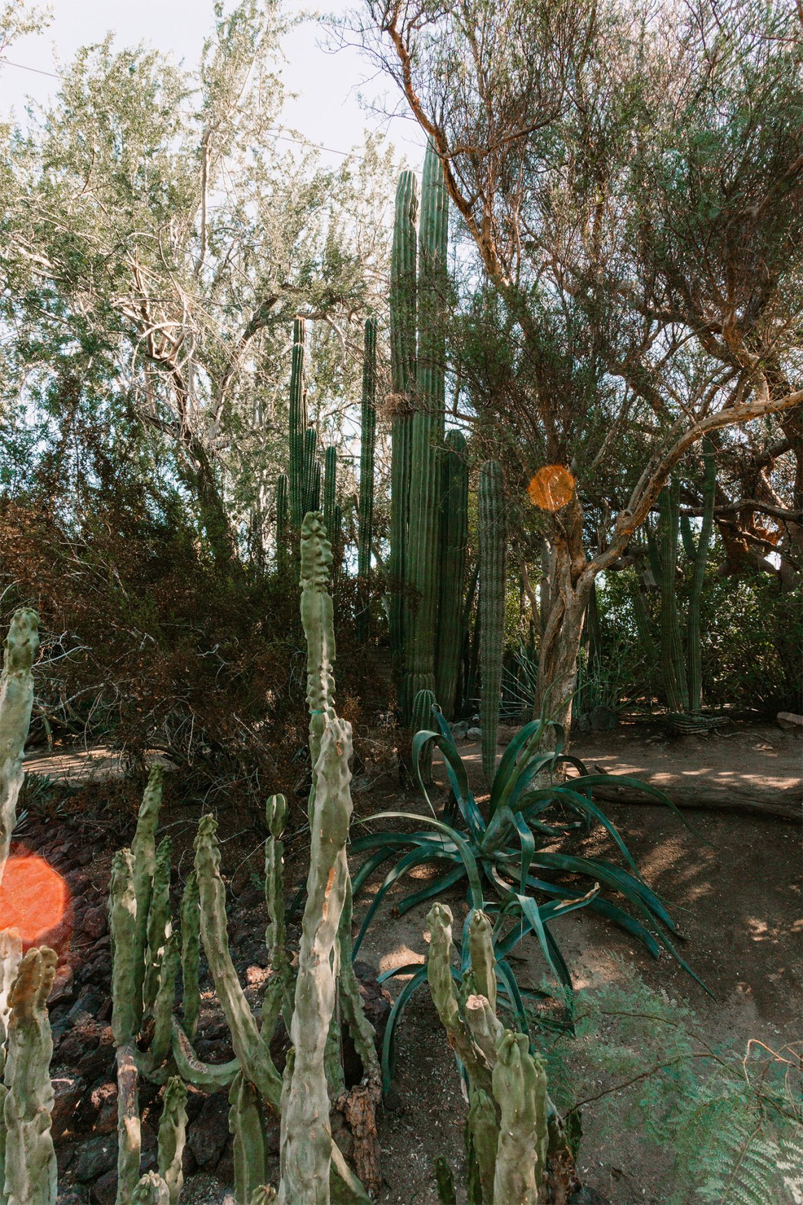 Tall cactus garden in the desert landscape