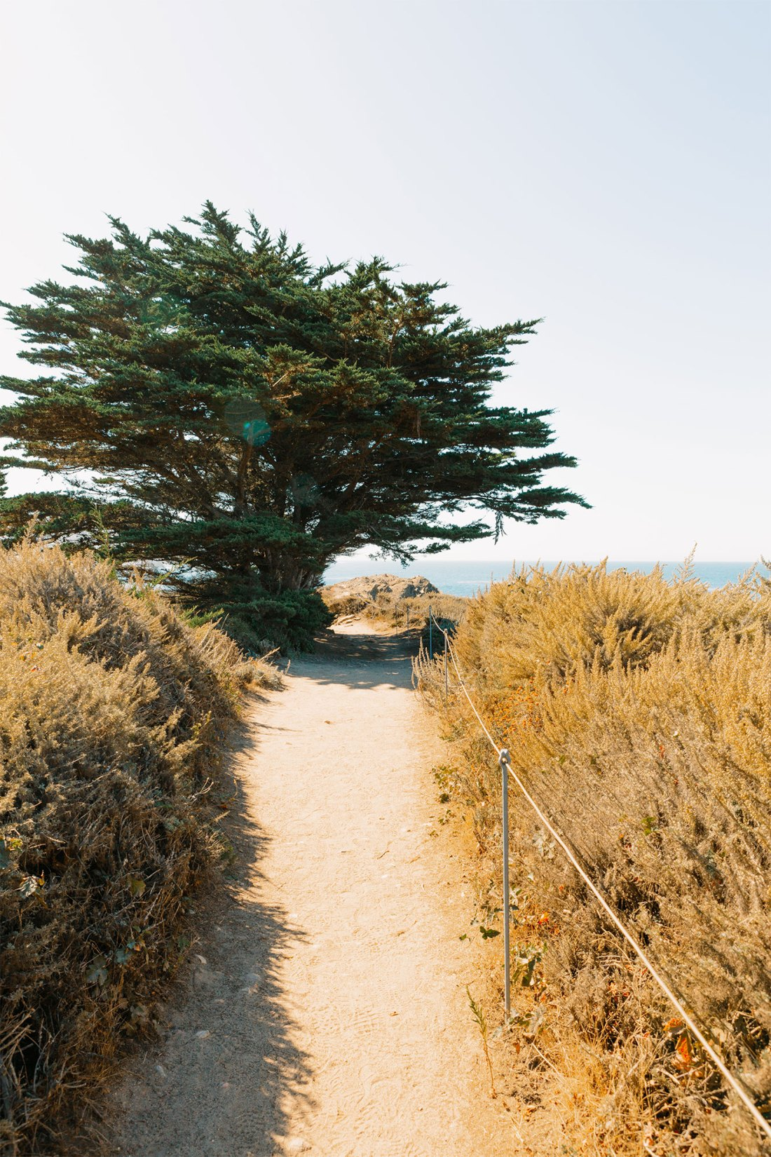 Large tree in path seen in Point Lobos Natural Reserve | as seen on the Local Love and Wanderlust Blog