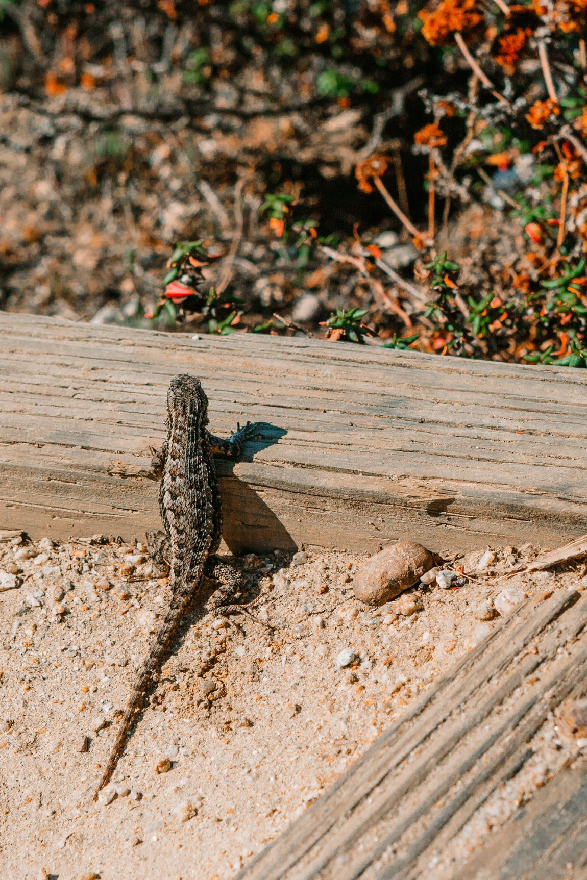 Cute lizard seen in Point Lobos | as seen on the Local Love and Wanderlust Blog
