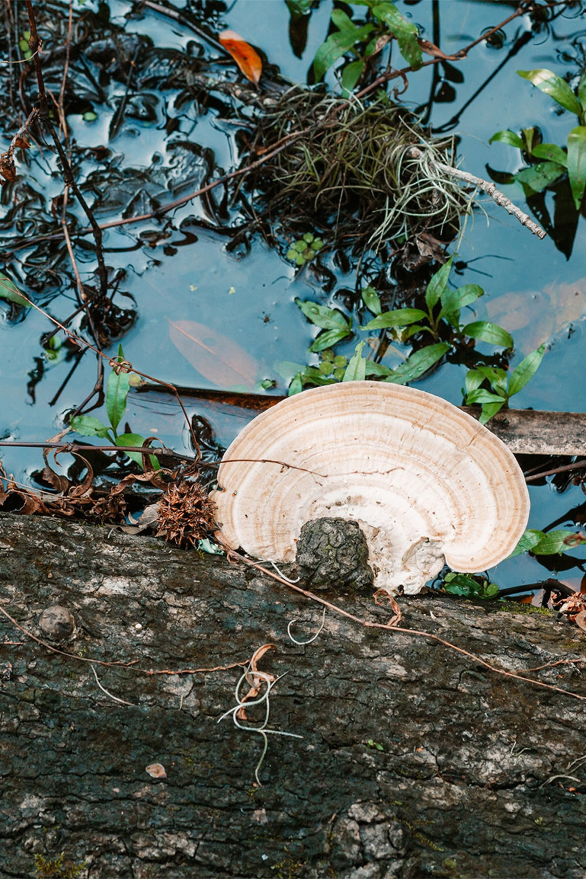 A mushroom grows from a tree trunk in the swamp