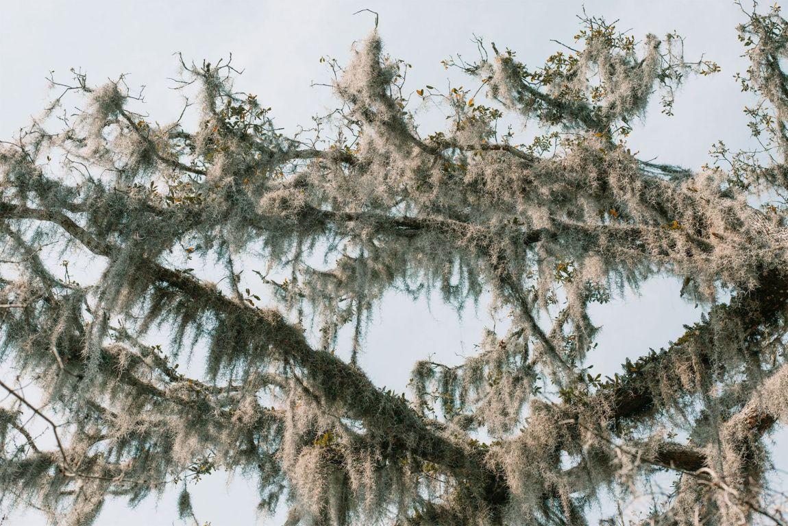 Spanish Moss draping from tree branches