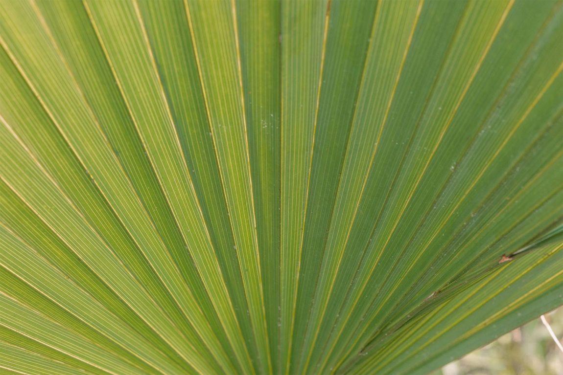A green fan palm leaf