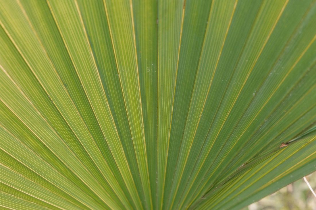 A green fan palm leaf