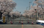 Famous sakura trees bloom in abandoned Fukushima town - 7