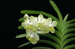 S'pore Orchid hybrids named after Lee Kuan Yew and wife - 5