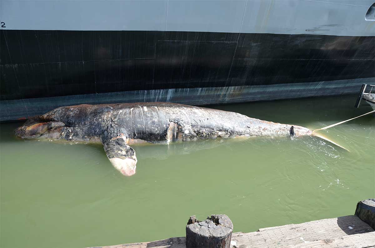 Three more gray whale carcasses turn up around Bay, may have to be towed to sea