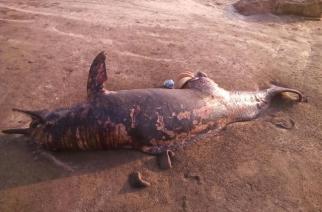 Carcass of 7-foot dolphin washes ashore at Gorai beach