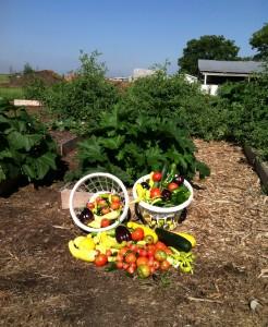 harvest spring vegetable