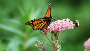 Monarch Butterfly Swamp Milkweed, Texas