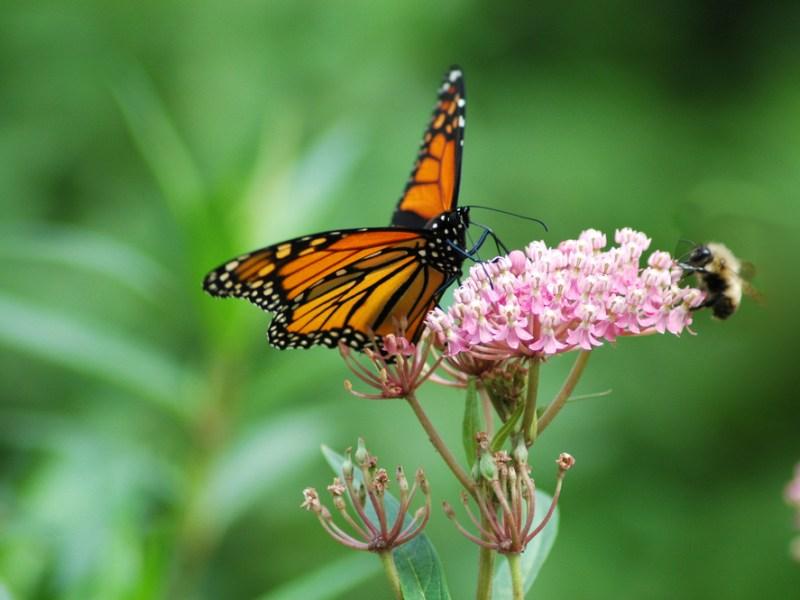 monarch butterfly swamp milkweed, texas
