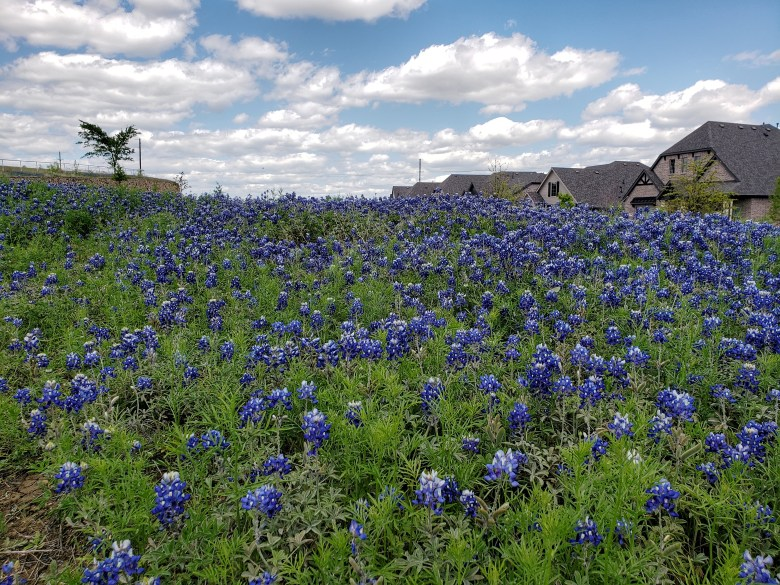 bluebonnet season texas