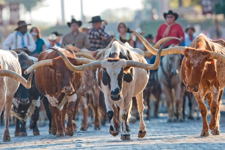 the herd! this cattle drive is a unique experience you can only see at the fort worth stockyards!