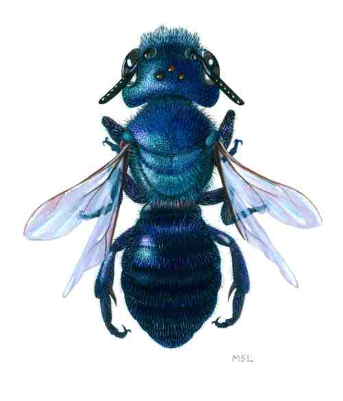 """Native Blue Bee"", by Mattias Lanas."