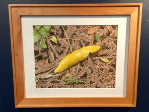 """Banana Slug"", by Vancy Lawry"
