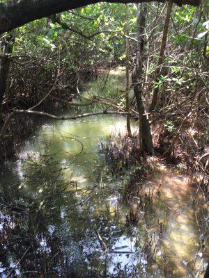 Tidal mangrove swamps