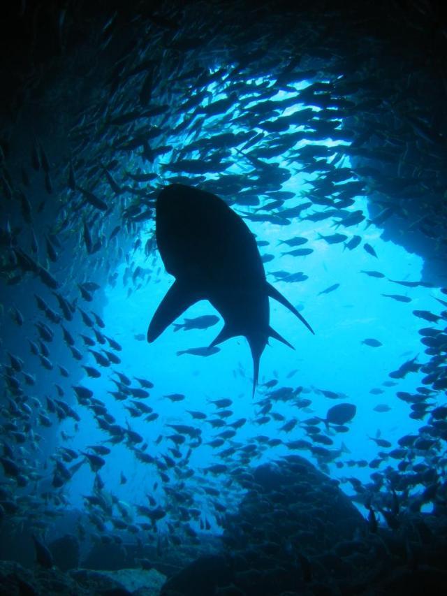 grey_nurse_shark_silhouette_at_fish_rock_cave_nsw