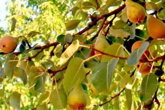Le pere in luglio sui nostri alberi