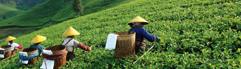 Ruta del te, china