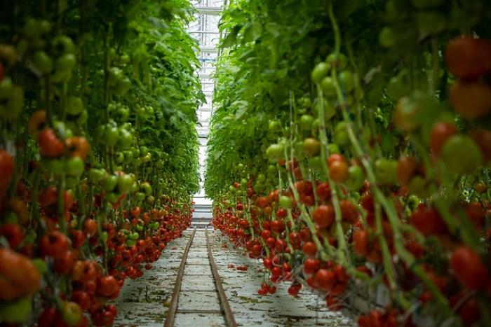 tomatoes, hydroponics